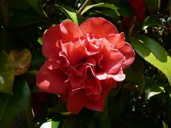 Camellia japonica L. 'Bolongara'