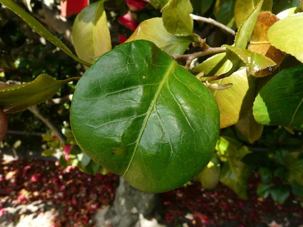 Camellia japonica L. 'Mitronesson Vera'