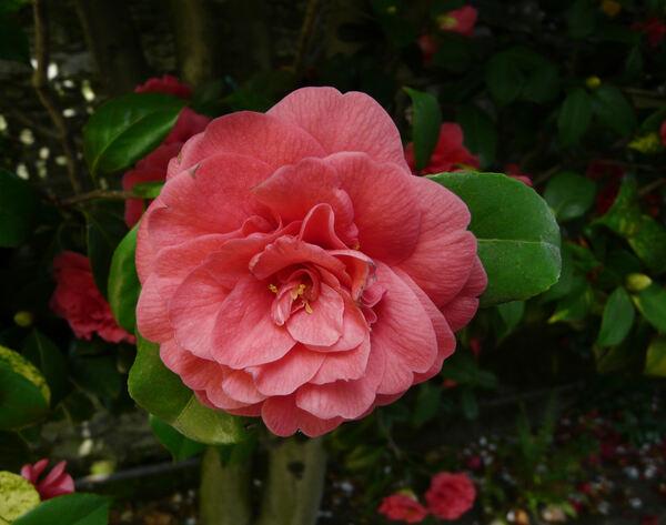 Camellia japonica L. 'Drummondii'