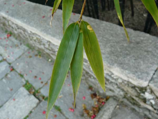 Phyllostachys nigra (Lodd. ex Lindl.) Munro