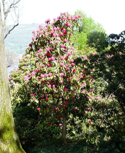 Rhododendron arboreum Sm. 'Cornish Red'