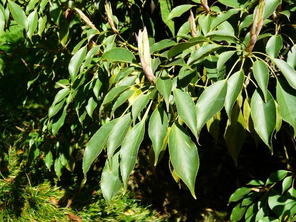 Trochodendron aralioides Siebold & Zucc.