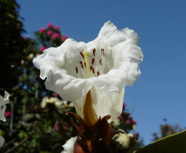 Rhododendron macabeanum Watt ex Balf.f.
