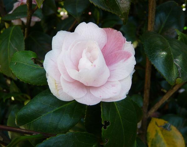 Camellia japonica L. 'Comte de Gomer'