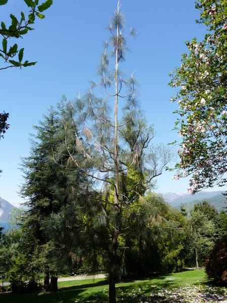 Pinus sabiniana Dougl. ex Dougl.