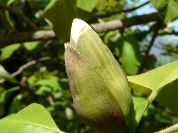 Magnolia obovata Thunb.