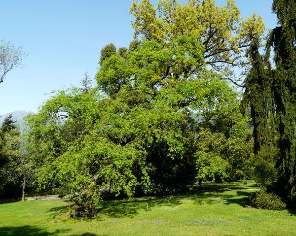 Quercus robur L. 'pendula'