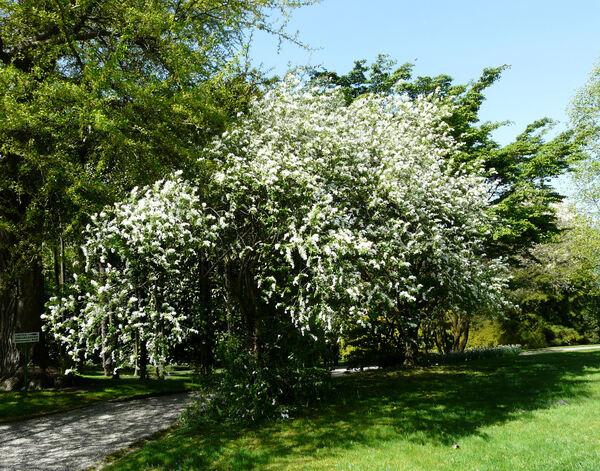 Exochorda racemosa (Lindl.) Rehder