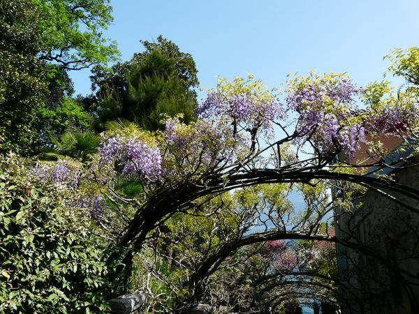 Wisteria floribunda (Willd.) DC. 'Ito Koku Ryu'