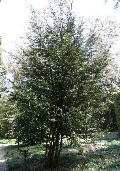 Camellia transnokoensis Hayata