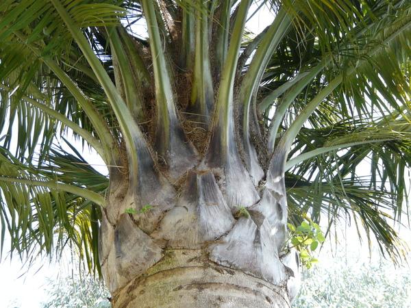 Jubaea spectabilis Kunth.
