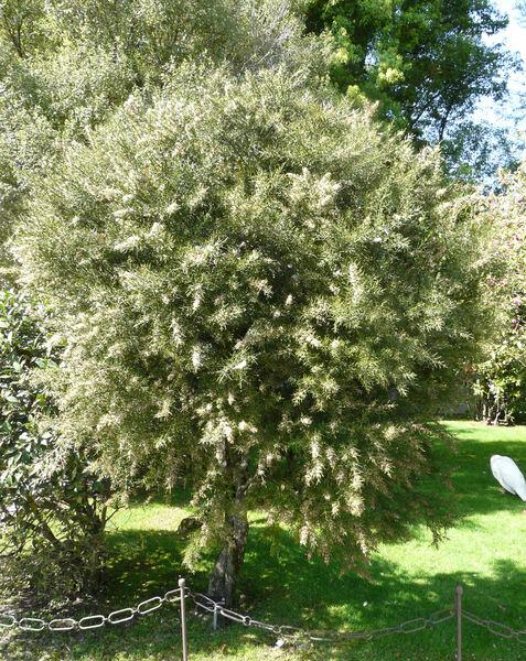 Colletia hystrix Clos 'Rosea'