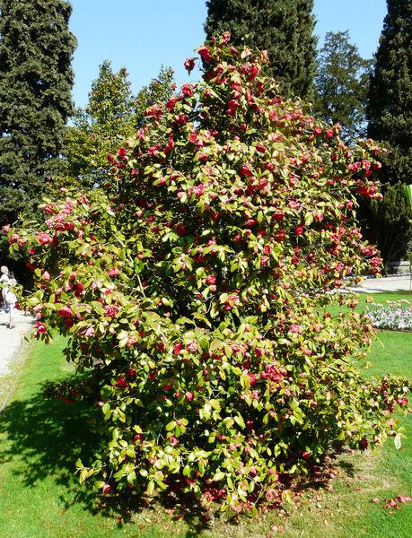 Camellia japonica L. 'C.M. Hovey'