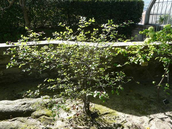 Calycanthus floridus L.