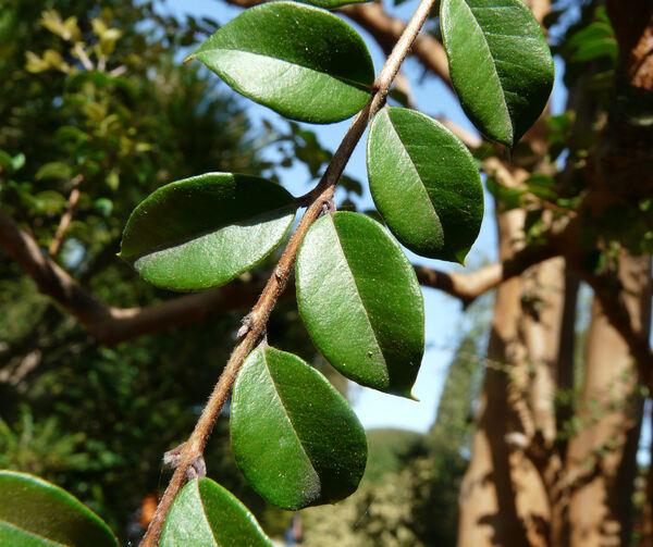 Luma apiculata (DC.) Burret