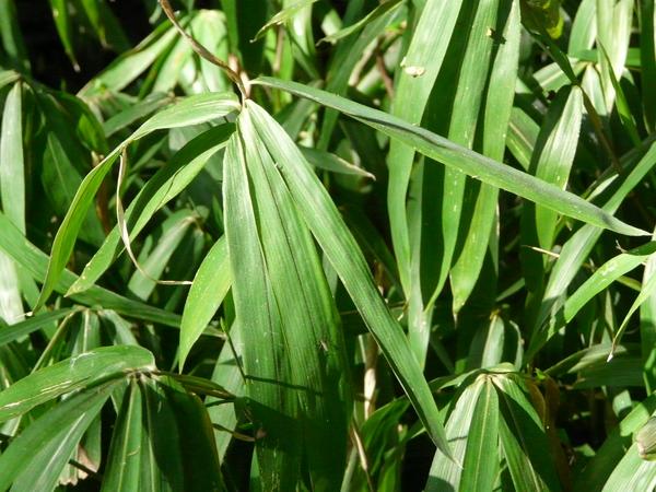 Arundinaria argenteostriata (Regel) Vilm.