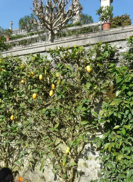 Citrus ×limon (L.) Osbeck
