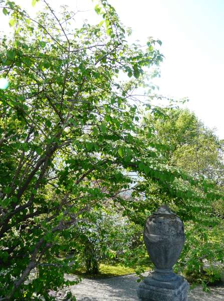 Viburnum plicatum Thunb. 'Mariesii'