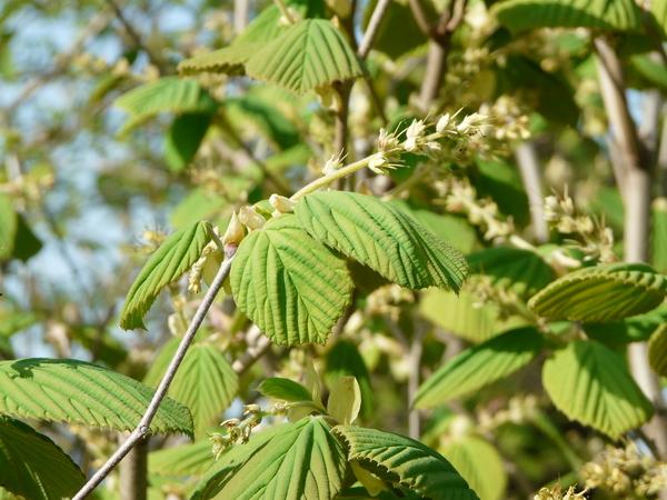 Corylopsis wilmottiae Rehder & Wils.