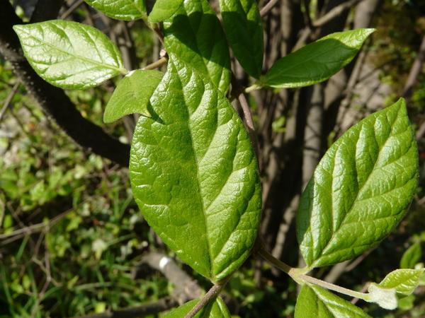 Calycanthus floridus L. 'Ovatus'