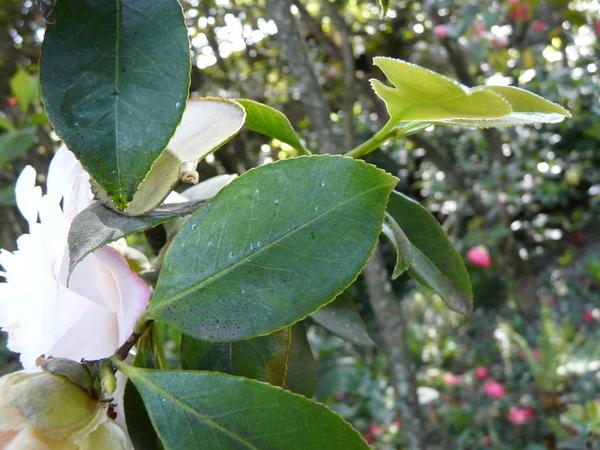 Camellia japonica L. 'Barbara Woodroof'