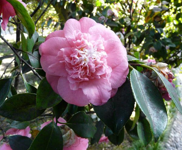 Camellia japonica L. 'Elegans'