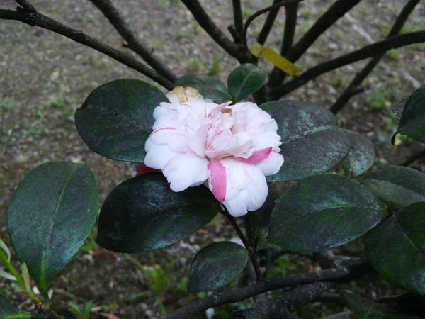 Camellia japonica L. 'La Pace'