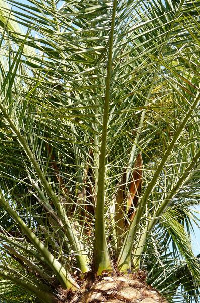 Phoenix sylvestris (L.) Roxb.