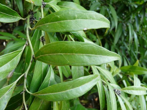Sarcococca saligna (D.Don) Muell.-Arg.