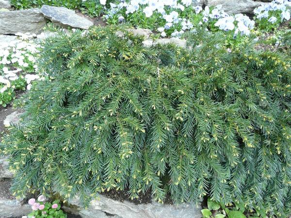 Taxus baccata L. 'Cavendishii'