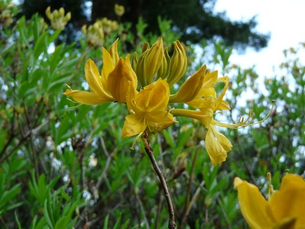 Rhododendron 'Mollis Japonicum'