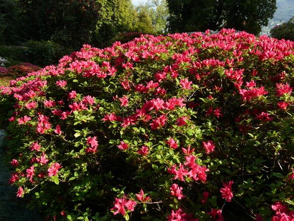 Rhododendron 'Hinode Giri'
