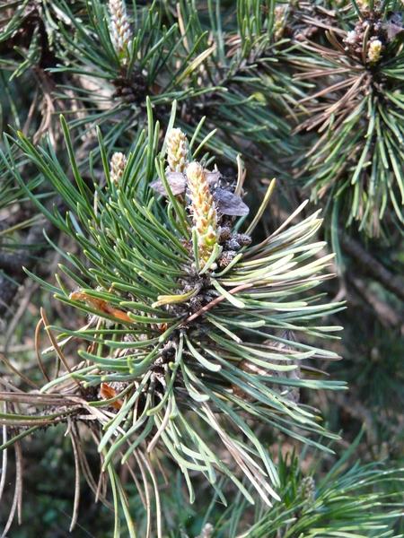 Pinus sylvestris L. 'Viridis Compacta'