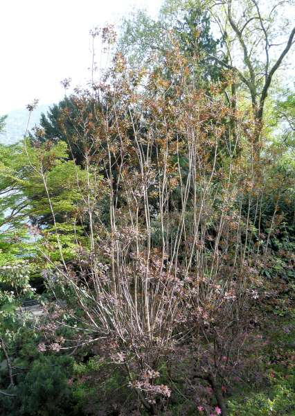 Cotinus coggygria Scop. 'Royal Purple'