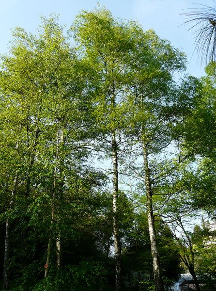 Betula verrucosa Ehrh.