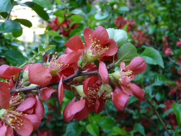 Chaenomeles speciosa (Sweet) Nakai 'Crimson and Gold'