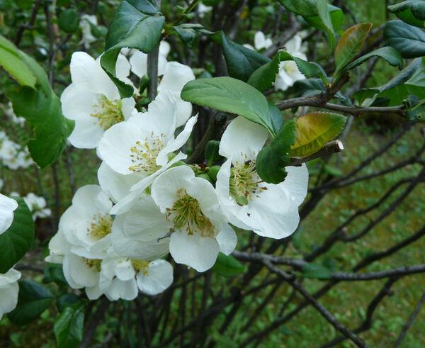 Chaenomeles speciosa (Sweet) Nakai 'Nivalis'