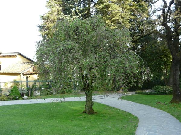 Prunus subhirtella Miq. 'Pendula Rosea'