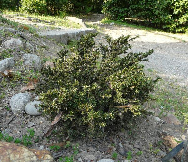Taxus baccata L. 'Minima'
