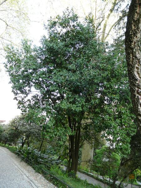 Magnolia figo (Lour.) DC.