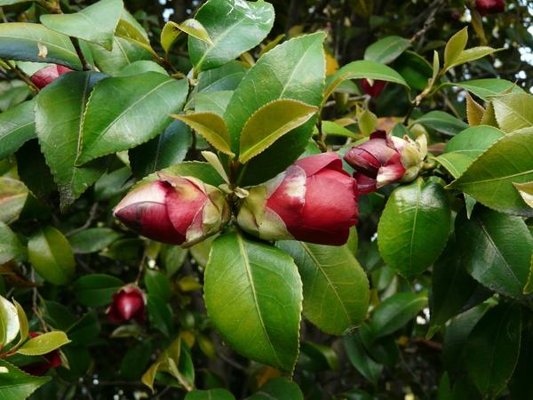 Camellia japonica L. 'Konronkoku'