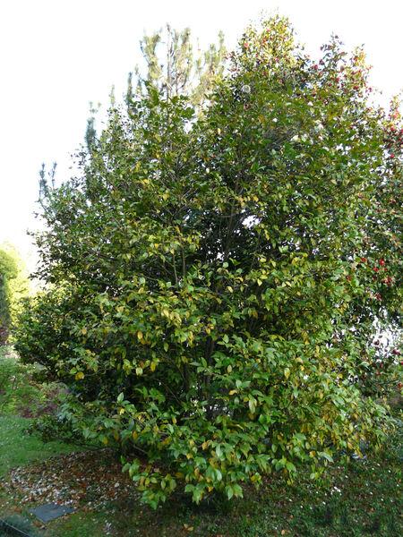 Camellia japonica L. 'Snowman'