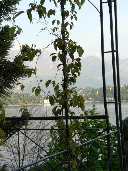 Holboellia latifolia Wall.