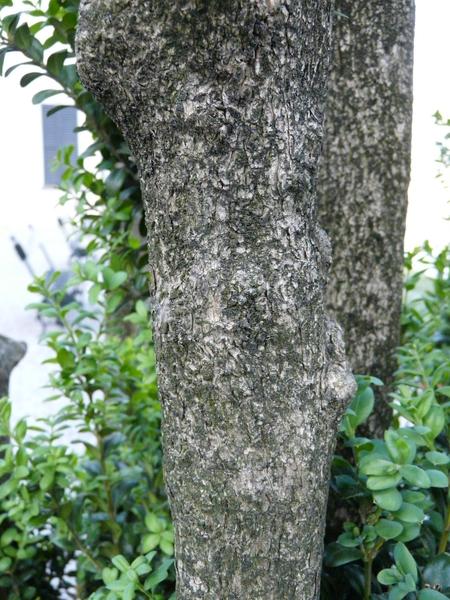 Buxus sempervirens L. 'Rotundifolia'