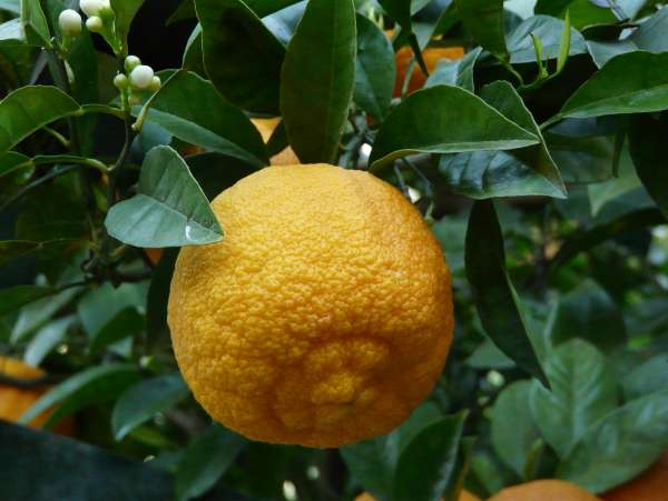 Citrus x unshiu (Makino) Marcow.