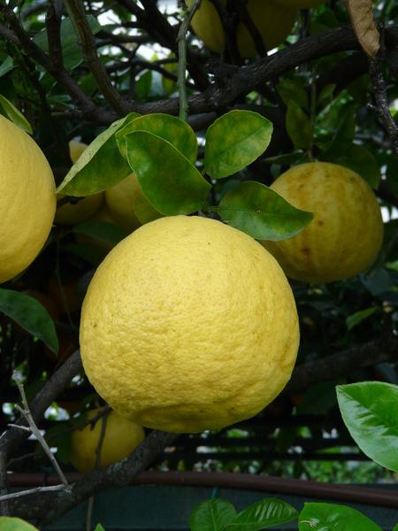 Citrus medica x Citrus aurantium