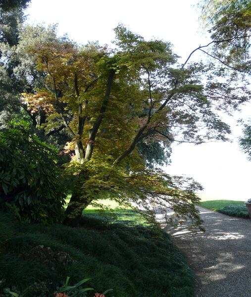 Acer palmatum Thunb. ex Murray 'Masukagami'