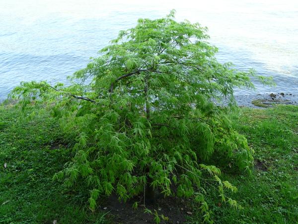 Acer palmatum Thunb. ex Murray 'Inaba Shidare'