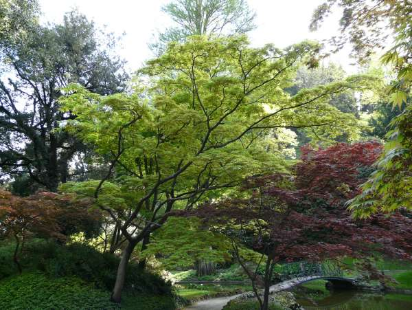 Acer palmatum Thunb. ex Murray 'Omurayama'