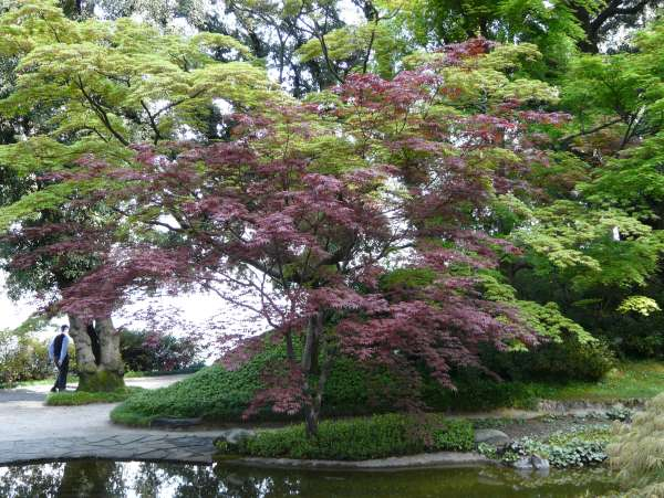 Acer palmatum Thunb. ex Murray 'Bloodgood'
